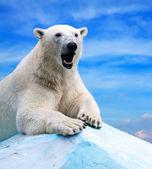 Eisbär — Stockfoto