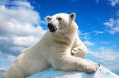 полярный медведь против неба — Стоковое фото