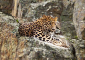 Jaguar on rock — Stock Photo