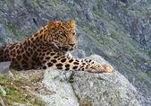 Leopard on rock — Stock Photo