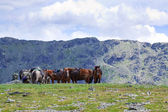 Sellé chevaux en montagne — Photo