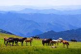 Horses on mountains meadow — Stock Photo