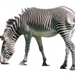 Zebra over white - Stock Photo