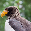 Steller's sea eagle - Stock Photo