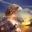 White-tailed eagle against sunset — Stock Photo