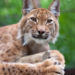 Stock Photo: Lynx against wildness area