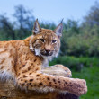 Lynx in wild nature - Stockfoto