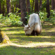 Yak  in forest area - Stock Photo