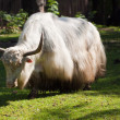 Yak  against nature background - Foto Stock