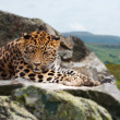 Jaguar on rock - 图库照片