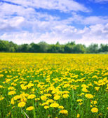 Summer landscape with dandelions meadow — Stock Photo