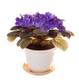 Violet in pot on white — Stock Photo
