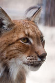 Lynx Head — Stock Photo