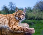 Lynx in wild nature — Stock Photo