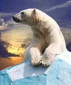 белый медведь — Стоковое фото