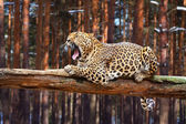 Leopard on wood — Stock Photo