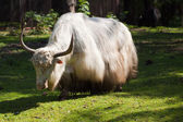 Yak against nature background — Stock Photo
