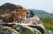 Jaguar on rock — Stock Photo