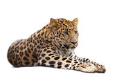 Leopard over white — Stock Photo