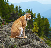 Lynx in wildness area — Stock Photo