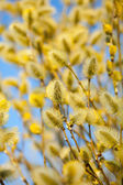 Yellow pussy willow branches — Stock Photo