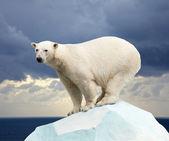 Niedźwiedź polarny — Zdjęcie stockowe