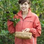 Woman picking chokeberry — Stock Photo