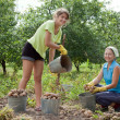 Women harvested potatoes - Stock Photo
