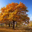 Autumn lanscape with oak grove — Stock Photo #9008159