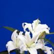 White lily on blue — Stock Photo