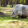 Grunting ox against nature — Stock Photo