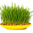 Stock Photo: Grass of wheat grown