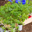 Tomato seedling in hothouse — Stock Photo