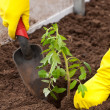Stock Photo: Planting tomato spout in ground