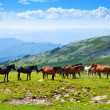 Horses on mountains meadow — Stock Photo