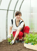 Fem ale gardener planting tomato spouts — Stock Photo