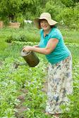 Mature woman watering potato plant — Stock Photo