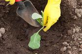 Gardener hands planting cabbage — Stock Photo