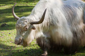 Grunting ox against nature background — Stock Photo