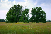 Summer landscape with oaks — Stock Photo