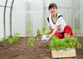 Woman planting tomato seedling — Stock Photo