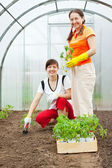 Female gardeners planting n hothouse — Stock Photo