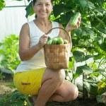 Mature woman harvesting cucumbers — Stock Photo