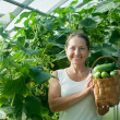 Woman   harvesting cucumbers - Stock Photo