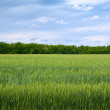 Summer landscape with green field — Stock Photo