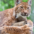 Lynx against wildness area — Stock Photo #9913952