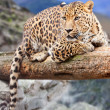 Leopard at wildness area — Stock Photo #9913982