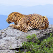 Leopard at wildness area — Stock Photo #9913985