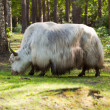 White yak - Stock Photo