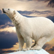 Polar bear — Stockfoto #9914066